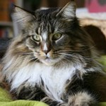 maine-coon-web