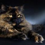 persian-cat-seb79